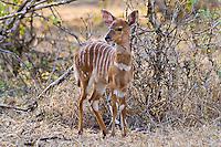 Nyala fawn, Mkuze Game Reserve, SA