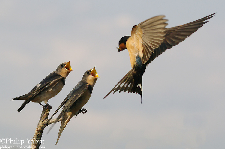 A barn swallow (Hirundo rustica) feeds her brood.