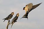 A barn swallow (Hirundo rustica) feeds her brood.