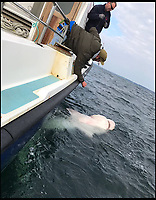 BNPS.co.uk (01202 558833)<br /> Pic: BenBond/BNPS<br /> <br /> The enormous 1,500lbs shark that Ben caught. <br /> <br /> A British fisherman has told of how he caught a monster 1,500lbs shark - the biggest ever in Europe.<br /> <br /> Ben Bond, 26, a builder from Yeovil, spent 90 minutes struggling to reel in the deadly 25ft long sixgill shark after it took his bait on a fishing trip to Ireland.<br /> <br /> It was impossible to heave the specimen on board but experienced boat skipper Luke Aston used the recognised formula and measuring its length and girth to calculate its weight.<br /> <br /> Mr Aston said the shark was at least 1,500lbs - 107sts - which makes it the biggest ever caught in not only the British Isles but also in Europe.