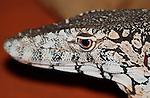 Perentie - Australias largest lizard