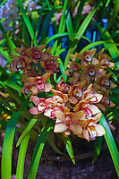 Peach, Orchids, Botanical, Gardens, Balboa Park, San Diego, Ca High dynamic range imaging (HDRI or HDR)