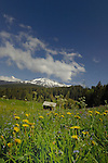 Spring flowers in front of animal shelter and snow capped mountains. Imst district, Tyrol, Tirol, Austria.