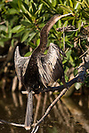 Ding Darling National Wildlife Refuge, Bailey Tract, Sanibel Island, Florida; an Anhinga (Anhinga anhinga) bird drying it's feathers in the sun, pearched on a branch at the edge of the mangroves © Matthew Meier Photography, matthewmeierphoto.com All Rights Reserved