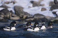 537109016 a wild flock of barrows goldeneye ducks bucephala aslandica swim together during winter on the firehole river in yellowstone national park wyoming