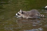 """Waschbär, knapp 2 Monate altes Jungtier sammelt erste Erfahrungen mit dem Element Wasser, erste Schwimmversuche, Tierkind, Tierbaby, Tierbabies, Waschbaer, Wasch-Bär, Procyon lotor, Raccoon, Raton laveur, """"Frodo"""""""