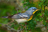 561000006 a wild adult northern parula setophaga americana - was parula american perches on a small plant stem on south padre island texas