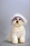 Bichon Frise in the studio<br /> <br /> <br /> Shopping cart has 3 Tabs:<br /> <br /> 1) Rights-Managed downloads for Commercial Use<br /> <br /> 2) Print sizes from wallet to 20x30<br /> <br /> 3) Merchandise items like T-shirts and refrigerator magnets