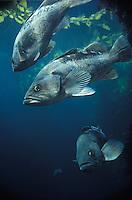 Black Rockfish, Montery Bay