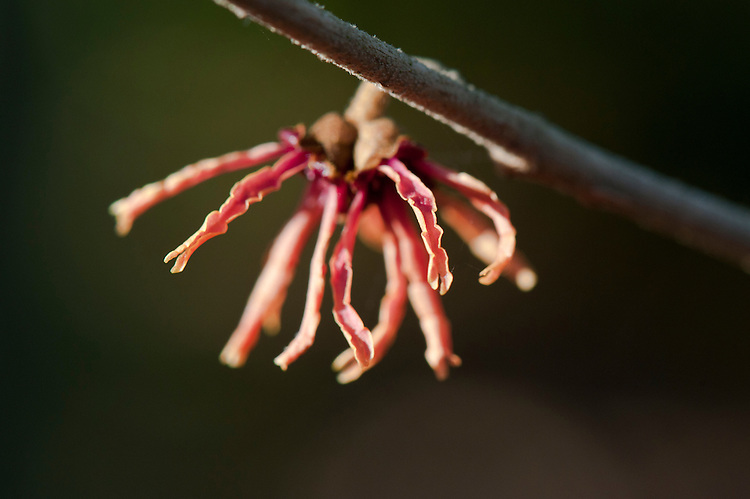 Witch hazel (Hamamelis x intermedia 'Hiltingbury'), end January.