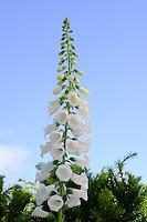 Digitalis purpurea Albiflora