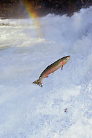 Lx211  Steelhead or Rainbow trout jumping falls on spawning migration.  Pacific NW. (Note:  steelhead, which spend several years in the ocean, are now classified as salmon).