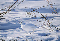 Willow Ptarmigan in white plumage runs across the snow covered tundra, Arctic, Alaska.
