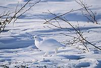 Willow Ptarmigan in white plumage runs across the snow covered tundra, Arctic, Alaska.