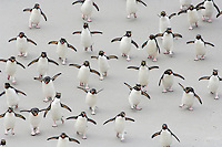 Rockhopper Penguins (Eudyptes chrysocome) crossing a sandy beach between the ocean and the breeding colony, Falkland Islands.