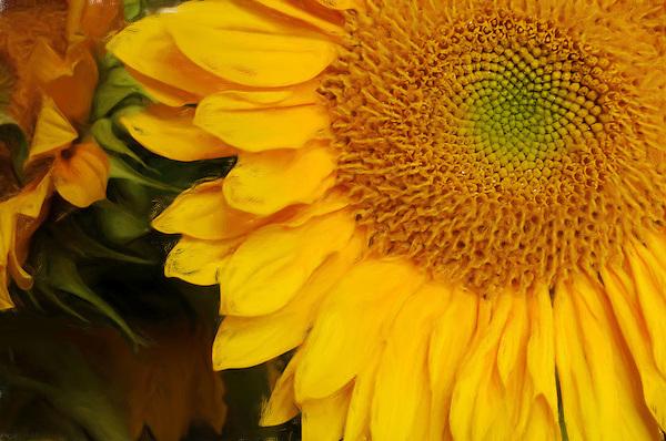 Golden Glow, The Brilliance of a Sun Flower