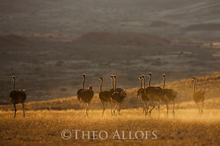 Namibia;  Namib Desert, group of ostriches