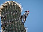 Ladderback Woodpecker on Saguaro