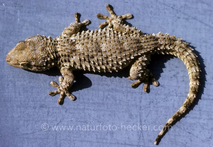 Mauergecko, Mauer-Gecko, Gecko, Hausgecko, Tarentola mauritanica, Moorish Wall Gecko, Salamanquesa, Crocodile gecko, European common gecko, Maurita naca gecko