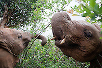 Orphaned baby elephants feed on tree leaves at the David Sheldrick Wildlife Trust in Nairobi National Park. The elephants range in age from  six months to three years. When one lies  down the others pile on playfully.