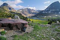 Mountain Goat (Oreamnos americanus) checking out photographer.  Glacier National Park, Montana.  Summer.