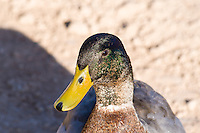 Mallard, Arizona, USA