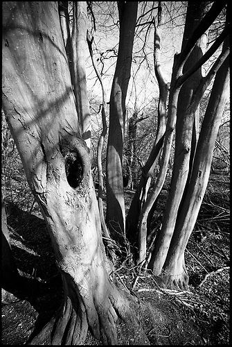 Shadowed Tree, Thorndon Woodland, Suffolk by Paul Cooklin