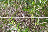 Red Browed Finch, Yuragir NP, NSW, Australia