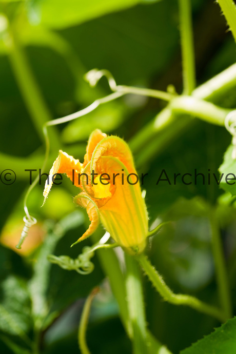 Close up of a courgette flower in bloom in an Italian vegetable garden