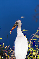 A Wood Stork on the bank of a canal in Everglades National Park, Florida.
