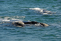 Three Southern right whales breaching (Eubalaena australis) - South Africa, South Western Cape, Hermanus