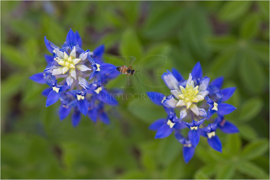 I had my macro out shooting bluebonnet images - trying to find unique perspectives - when I noticed all the bees flying around enjoying the nectar of these and other Texas Wildflowers. So from above the bluebonnets, I focused down onto the flowers and waited. It wasn't long before bees were back again. This time I captured some pictures of bluebonnets with a bee going between them. I have several images like this. Bees at work!