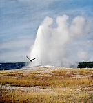 A black raven flys in front of Old Faithful in Yellowstone National Park in Wyoming, USA.