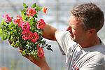 Foto: VidiPhoto<br /> <br /> BOSKOOP &ndash; Een medewerker van kweker Ben Rijnbeek uit Boskoop toont dinsdag de nieuwe struikroos Babylon Eyes&rsquo;. De compacte, enkelbloemige struikrozen met rode, gele, roze of oranje bloemen kenmerken zich door een rijke bloei en een opvallend &lsquo;oog&rsquo; in een contrasterende kleur. Op de vakbeurs in Rusland half september waren de reacties  buitengewoon lovend, meldt Interplant. De verwachting voor de introductie op de consumentenmarkt, het vroege voorjaar 2015, alsmede de Europese markt is daarom hoog gespannen. De Babylon Eyes&rsquo; bloeit in Europa vanaf maart/april tot ver in het najaar.