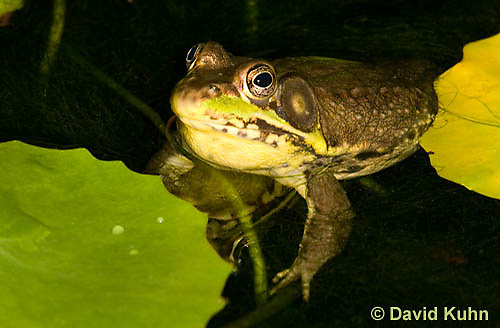 0612-0906  Northern Green Frog in Pond, Lithobates clamitans, formerly Rana clamitans  © David Kuhn/Dwight Kuhn Photography