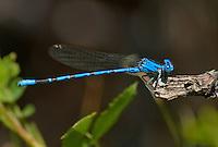338610005 a wild male vivid dancer argia vivida perches on a broken branch in fish slough mono county callifornia