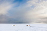 Polar bears on a barrier island along the Beaufort Sea, arctic, Alaska.