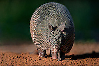 605500018 a wild nine-banded armadillo dasypus novemcinctus approaches a small pond in starr county texas united states