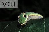 Spicebush Swallowtail (Papilio troilus) Papilioninae