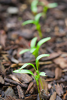 Seedlings new young plant growth emerging spinach leaf vegetable coming up in spring