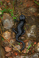 Adlerweg, Tirol, Austria, August 2005. A Berg Salamander (mountain salamander) on the trail is a sign of bad weather. we saw 57 in one day, while the increasing rain transformed mountain streams into fastflowing rivers. The Adlerweg (eagles trail) is the new long distance hiking trail in Austria. The Adlerweg connects existing paths throughout Tirol, in the shape of an eagle, Tirol's provincial symbol. Photo by Frits Meyst/Adventure4ever.com