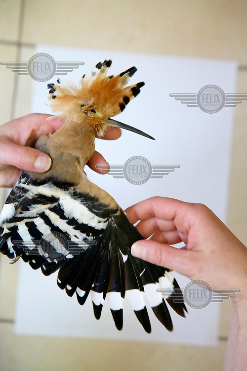 A dead hoopoe retrieved by Spring Watch Malta from Attard on 20 April 2012 is examined at Bird Life Malta's office. It was diagnosed with missing primaries as well as an injury to the wing consistent with gunshot. Under EU leglislation, hunting or trapping birds in spring is illegal but the government of Malta, which joined the EU in 2004, allows hunting of turtle dove and quail at this time of year. Some 170 species of bird pass over Malta during the spring and autumn migration periods. Hunters regularly shoot other species including birds of prey which are stuffed for private collection. Spring Watch Malta is a conservation camp run by BirdLife Malta, a non-profit which lobbies against bird hunting in the country. In 2012, fifty volunteers from across Europe converged on a tourist hotel in Bugibba in northern Malta and fanned out to track migrating birds and monitor any illegal spring hunting by the 11,000 permitted hunters....