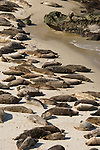 Children's Pool, La Jolla, California; Harbor Seals (Phoca vitulina) in their rookery, resting on the beach at the water's edge
