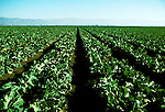 California: Salinas Valley, Agriculture, Cauliflower, Photo: canner104.Photo copyright Lee Foster, 510/549-2202, lee@fostertravel.com, www.fostertravel.com