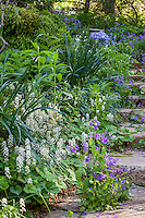 Tiarella cordifolia, white flowering Foamflower, native perennial wildflower, spring woodland garden with recycled concrete stepping stones, Boninti Garden, Virginia