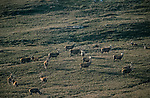 Herds of Deer graze flat any new growth Caledonian pine, Glenfeshie, Scotland. <br /> An old growth forest in the foothills of the Cairngorms. <br /> This Caldedoniam pine forest used to cover much of Scotland but has been destroyed by deer over grazing and clearances.