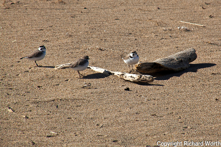 Three western snowy plovers on the beach at Pigeon Point Lightstation State Historic Park.  The Pacific Coast population of the western snowy plover is federally listed under the Endangered Species Act of 1973 as threatened. The western snowy plover is a Bird Species of Special Concern in California.