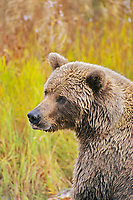 Portrait of a coastal brown bear, Katmai National Park, Alaska