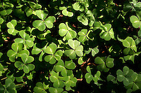 4 August 2006: Three leaf clover weeds grow along Highway 1 through central California along the coast of Big Sur. Graphic,art, texture, green, plants, color, book.