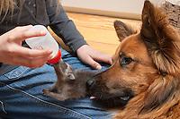 Junger Waschbär, Wasch-Bär wird von Hand aufgezogen, Welpe wird mit Milch gefüttert, Haushund guckt zu und leckt den Waschbären liebevoll, verwaistes Jungtier, Aufzucht eines Wildtieres, Procyon lotor, common raccoon